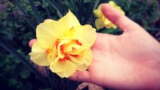 daffodil gardening
